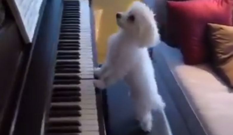 Dog Blanket For Car >> Two Dogs Playing a Piano