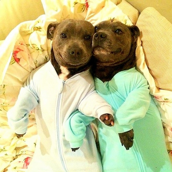 10.2.15 - Pit Bull Brothers in Pajamas1