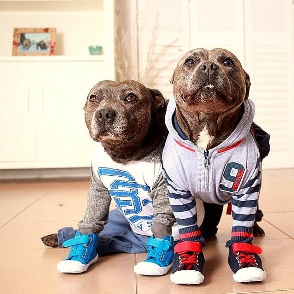 10.2.15 - Pit Bull Brothers in Pajamas3