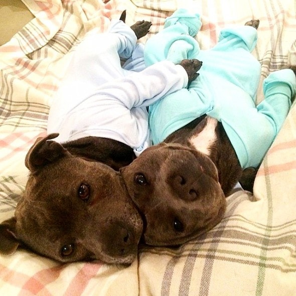 10.2.15 - Pit Bull Brothers in Pajamas5