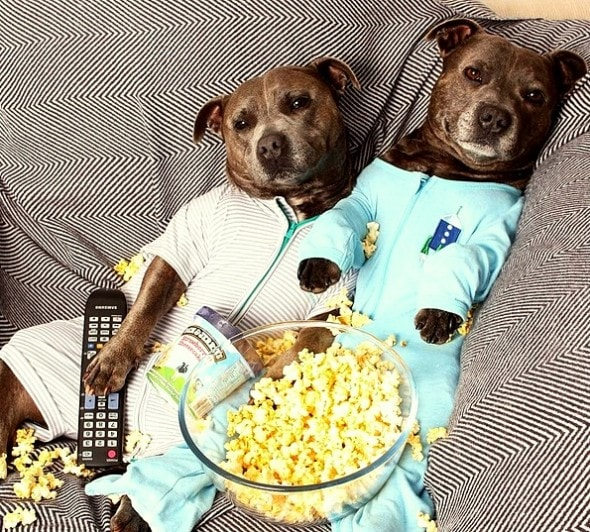 10.2.15 - Pit Bull Brothers in Pajamas7