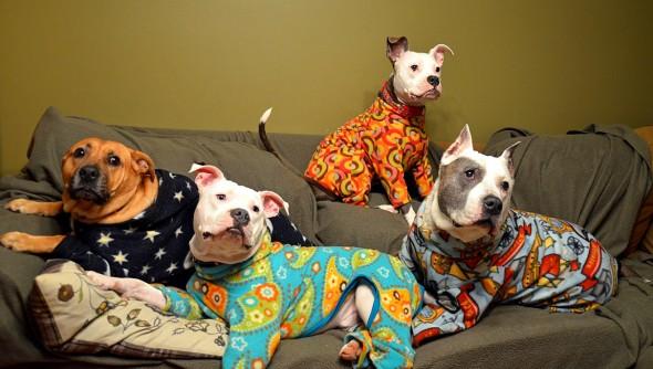10.2.15 - Pit Bulls in Pajamas1