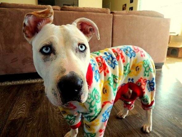 10.2.15 - Pit Bulls in Pajamas13