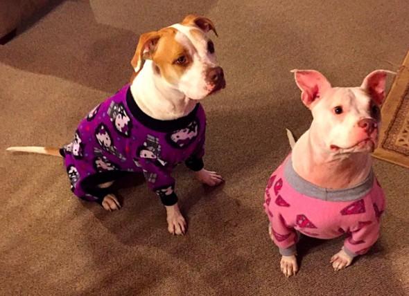 10.2.15 - Pit Bulls in Pajamas14