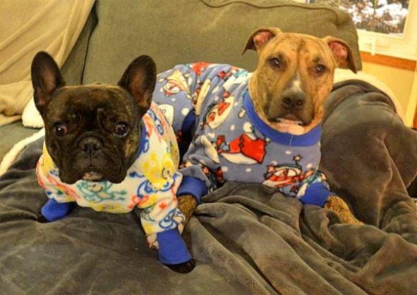 10.2.15 - Pit Bulls in Pajamas18