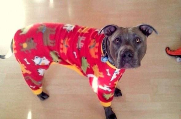 10.2.15 - Pit Bulls in Pajamas2