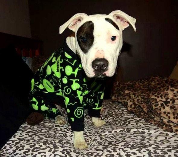10.2.15 - Pit Bulls in Pajamas21