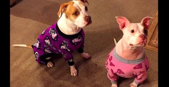 These Pit Bulls in Pajamas Will Make You Fall in Love