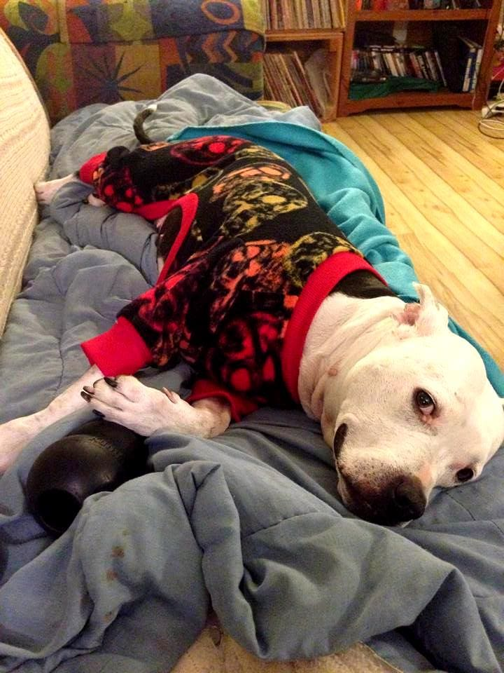 These Pit Bulls In Pajamas Will Make You Fall In Love Life With Dogs