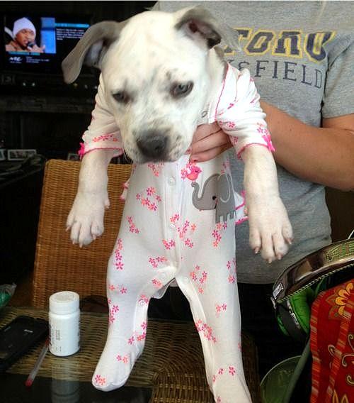 10.2.15 - Pit Bulls in Pajamas7