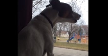 Dog Tries to Sing Harmony with Passing Ambulance