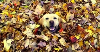 Dogs Who Love Nothing More than Flinging Themselves into Leaf Piles