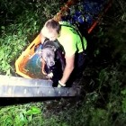 Deputies& Firefighters Save Pit Bull Thrown in Gator Swamp