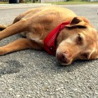 Heartbroken Dog Refuses to Leave Deceased Owner's Side