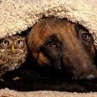 Belgian Malinois Is Best Friends with an Owl