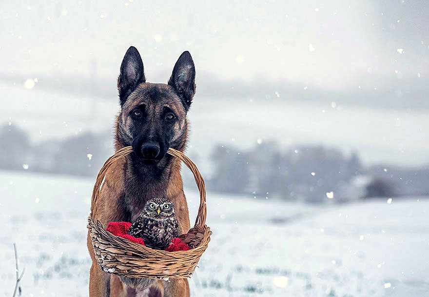 Belgian Malinois Is Best Friends With An Owl Life With Dogs