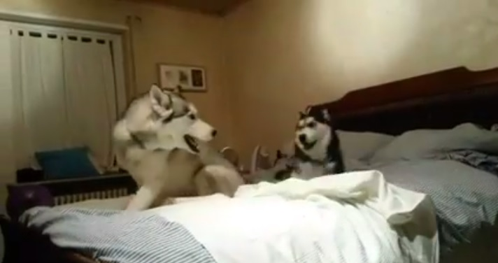 Some Hyper Huskies Play on the Bed
