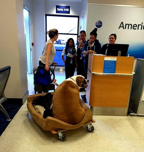 10.28.15 - Support Dog Treated Like Royalty on First Class Flight1