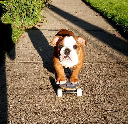 10.29.15 - Skateboarding Dog Tillman Dies10