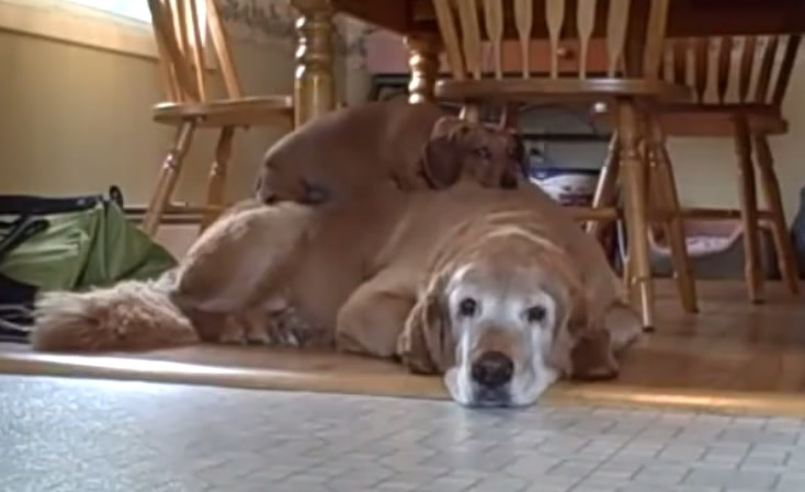 Dog Uses Larger Dog as a Bed