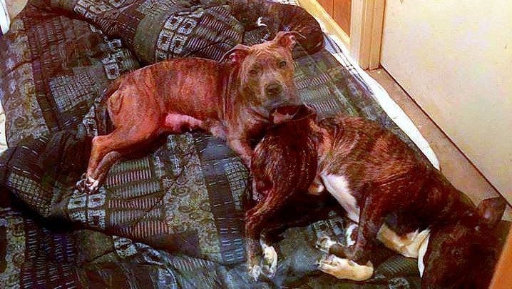 Pit Bulls Save South Carolina Family from Flood