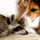 Rescue Dogs Get New Rescue Sibling, a Raccoon