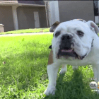 Stolen Bulldog Goes Up for Sale on Craigslist