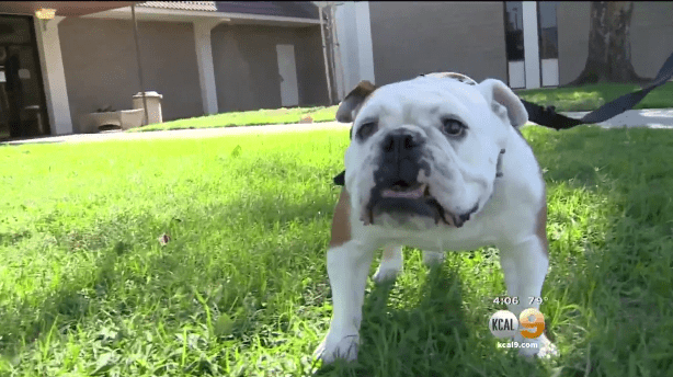 Stolen Bulldog Goes Up For Sale On Craigslist Life With Dogs
