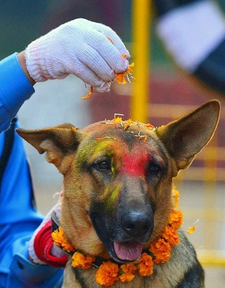 11.10.15 - Kukur Tihar Festival in Nepal10