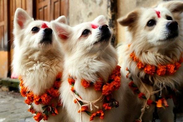 11.10.15 - Kukur Tihar Festival in Nepal4