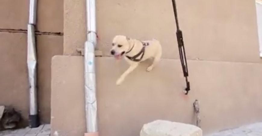 The Amazing Parkour Pup!