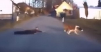 St.Bernard Drags Boy Across Street by Leash