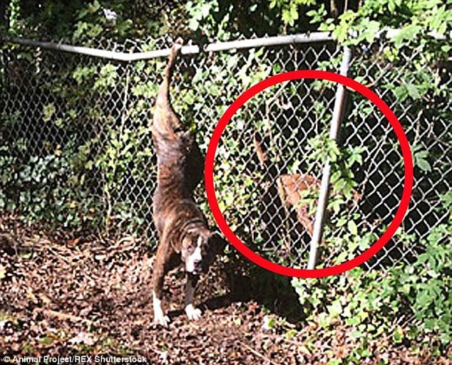 Dog Stands Guard for Friend With Paw Stuck in Fence