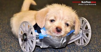 Puppy Born Missing Two Legs Gets 3D-Printed Wheelchair