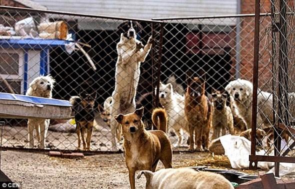11.21.15 - MIllionaire Goes Broke Saving Dogs Destined for Slaughterhouse4