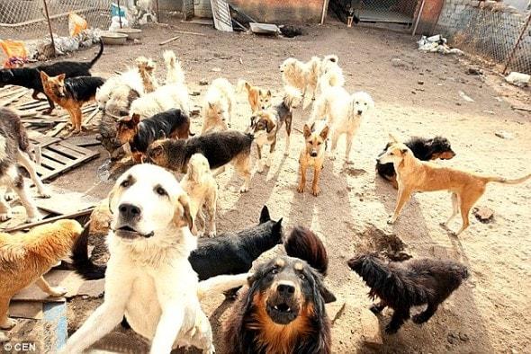11.21.15 - MIllionaire Goes Broke Saving Dogs Destined for Slaughterhouse5