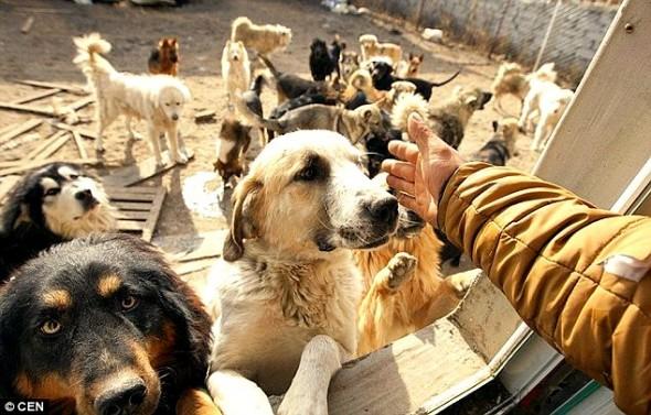 11.21.15 - MIllionaire Goes Broke Saving Dogs Destined for Slaughterhouse7