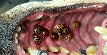 No, Your Dog Is Not Going to Become Asian Lady Beetle Food
