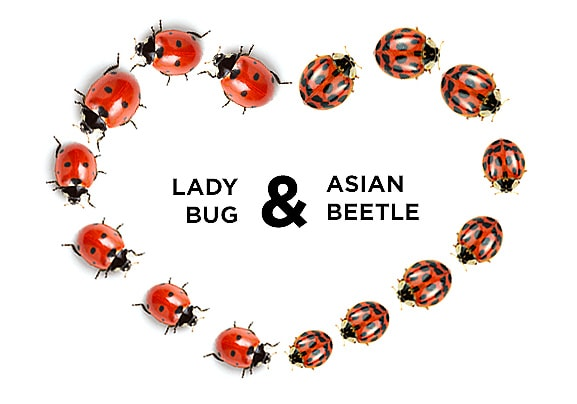 11.22.15 - Asian Lady Beetle Scare3