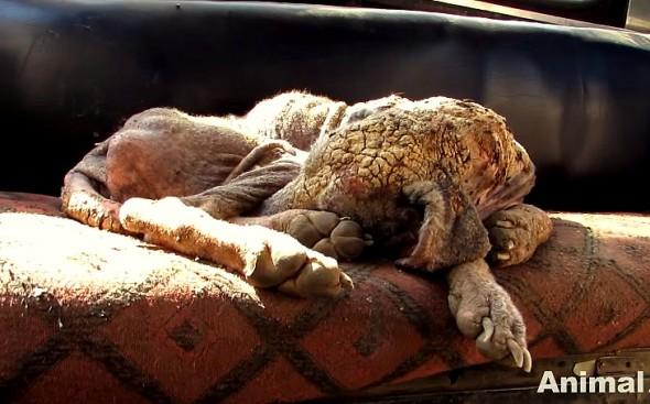 "11.25.15 - Astonishing Recovery of Dog Turned to ""Stone""1"