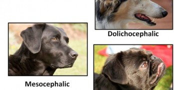 Is a Dog's Head Shape Related to Intelligence?