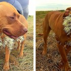Ouch!  Dogs Survive Brutal Porcupine Encounter
