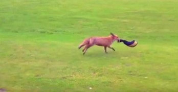 Sly Fox Tries to Make Off With a Golf Club Cover