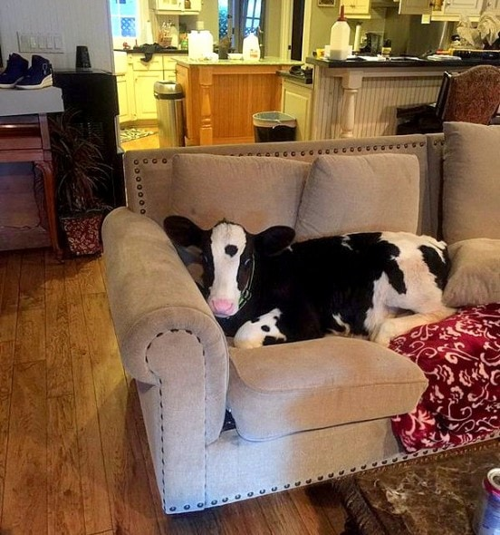 Rescued Calf Refuses To Believe He S Not A Puppy