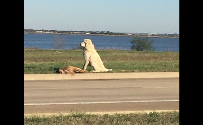 Dog Found Standing Guard over Body of Fallen Friend