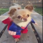 Super Romeo Is the Cutest Pup of Steel Ever