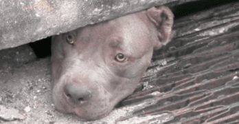 Florida Rescuers Pull Three Pit Bulls from Storm Drain