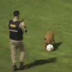 Working Dog Can't Resist Playing Soccer