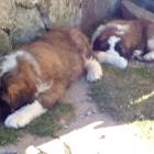 Saint Bernard Dogs Sleep and Enjoy the View