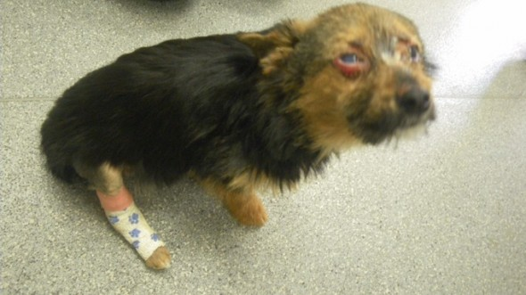 Chunky while healing from his abuse. Photo credit: RSPCA